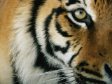 Close View of an Indian Tiger Fotografie-Druck von Michael Nichols