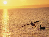 Brown Pelicans at Sunset Photographic Print by Dugald Bremner