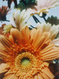 A Close-up of Daisies Photographic Print by Sisse Brimberg