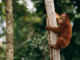 A Bornean Orangutan Baby Photographic Print by Roy Toft
