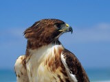 A Portrait of a Hawk Photographic Print by Scott Sroka
