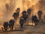 Cape Buffalo Herd Raising a Cloud of Dust Photographie par Beverly Joubert