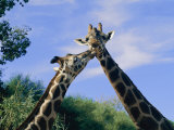 Giraffes Nuzzle One Another Photographic Print by Nick Caloyianis