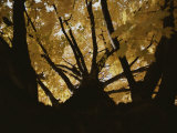 View Looking up an Oak Tree Trunk at Highlighted Yellow Autumn Leaves Photographic Print by Stephen St. John