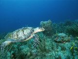 An Endangered Hawksbill Turtle Swims Near the Sea Floor Photographic Print by Brian J. Skerry