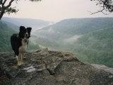A Border Collie Stands on the Bluff at Ravens Point, Tennessee Fotografisk tryk af Stephen Alvarez