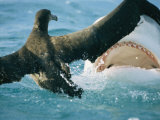 A Tiger Shark Feeds on a Young Albatross Photographic Print by Bill Curtsinger