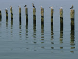 Gulls Perched on Pilings Photographic Print by Robert Madden