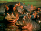 Hippopotamuses Wading in the Water Photographic Print by Beverly Joubert