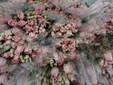 Bundles of Pink Roses are Gathered for Sale Photographic Print by Sisse Brimberg