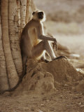 Hanuman Langur Resting under a Banyan Tree Photographic Print by Jason Edwards