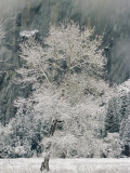 A Black Oak Tree Covered in Frost Photographic Print by Marc Moritsch