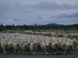 In New Zealand, Sheep are Kings of the Road Photographic Print by Annie Griffiths Belt
