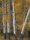 Quaking Aspen Trees in Autumn Photographic Print by Norbert Rosing