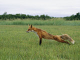 A Red Fox Stretches its Legs in a Field Photographic Print by Roy Toft