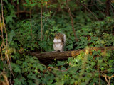 A Common Squirrel Perches on a Tree Limb Photographic Print by Scott Sroka
