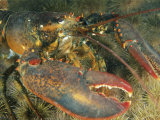 Close View of a Giant Lobster Photographic Print by Nick Caloyianis