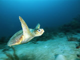 An Endangered Loggerhead Turtle with a Missing Right Rear Flipper Photographic Print by Brian J. Skerry