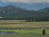 Scenic Wyoming Landscape with Grazing Bison Photographic Print by Norbert Rosing