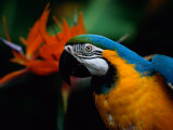 A Portrait of Henry the Macaw, Who Resided in National Geographics Explorers Hall for over 20 Years Fotografie-Druck von Scott Sroka