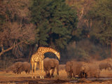 Elephants and a Solitary Giraffe Share a Water Hole Photographic Print by Beverly Joubert