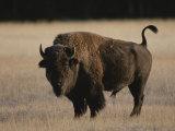 American Bison on Grassland Fotografisk tryk af Norbert Rosing