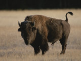 American Bison on Grassland Photographic Print by Norbert Rosing