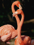 Two Captive Chilean Flamingos Photographic Print by Roy Toft