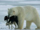 A Polar Bear (Ursus Maritimus) Snuggles up to a Chained Husky Fotografisk trykk av Norbert Rosing