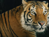 Portrait of an Indian Tiger Photographic Print by Michael Nichols