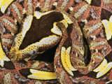 Rhinoceros Viper Photographic Print by George Grall