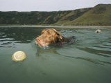 A Labrador Retriever Swims after a Tennis Ball with Another Retriever Following Behind Lámina fotográfica por Roy Toft