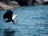An African Fish Eagle Swoops Towards the Waters Surface Photographic Print by Bill Curtsinger