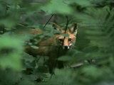 A Red Fox Peers Through Foliage Photographic Print by Phil Schermeister