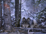 A Wolf (Canis Lupus) Crouches Behind a Fallen Branch Photographic Print by Paul Nicklen
