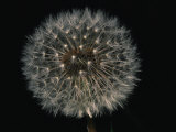 Close-up of a Dandelion That Has Gone to Seed Photographic Print by Brian Gordon Green