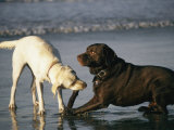 Two Labrador Retrievers Play with a Stick on a Beach Photographic Print by Roy Toft
