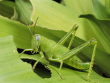 Grasshopper Eating a Leaf Photographic Print by George Grall
