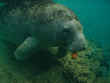A Florida Manatee Chews on a Carrot in the Crystal River Photographic Print by Joel Sartore