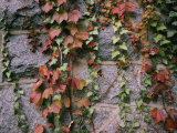 Ivy on a Stone Wall Photographic Print by Al Petteway