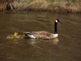 A Canada Goose is Followed by Two Goslings in the Water Photographic Print by Medford Taylor