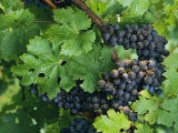 Close View of Red Grapes on the Vine Photographic Print by Kenneth Garrett