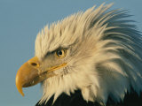 Profile View of a Bald Eagle Fotografie-Druck von Norbert Rosing