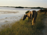 Chincoteague Ponies Graze on Marsh Grass Photographic Print by Al Petteway