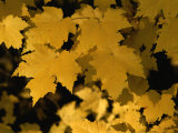 Maple Tree Leaves Have Turned a Bright Yellow in the Fall Photographic Print by Brian Gordon Green