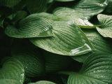 Water Drops on Plant Leaves Photographie par Al Petteway