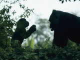 A Female Western Lowland Gorilla Appears to Be Teaching Her Youngster Photographic Print by Jason Edwards