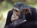 A Close-up of One of the Many Chimpanzees That were Studied by Researcher Jane Goodall Photographic Print by Kenneth Love