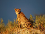 A Cheetah Surveys its Territory from a High Lookout