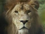 The Menacing Look of a Lion Fotografie-Druck von Jason Edwards